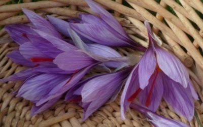 Le Safran, la fleur aux trois couleurs