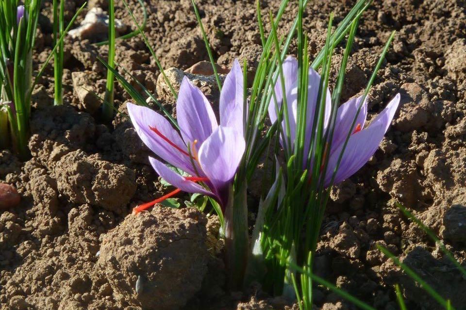 Le Safran, la fleur aux trois couleurs - Institut de la ...
